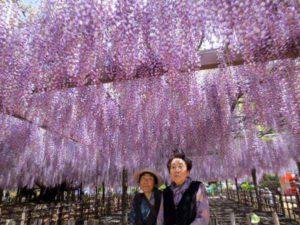 加須市の観光スポットとして有名な玉敷神社の藤