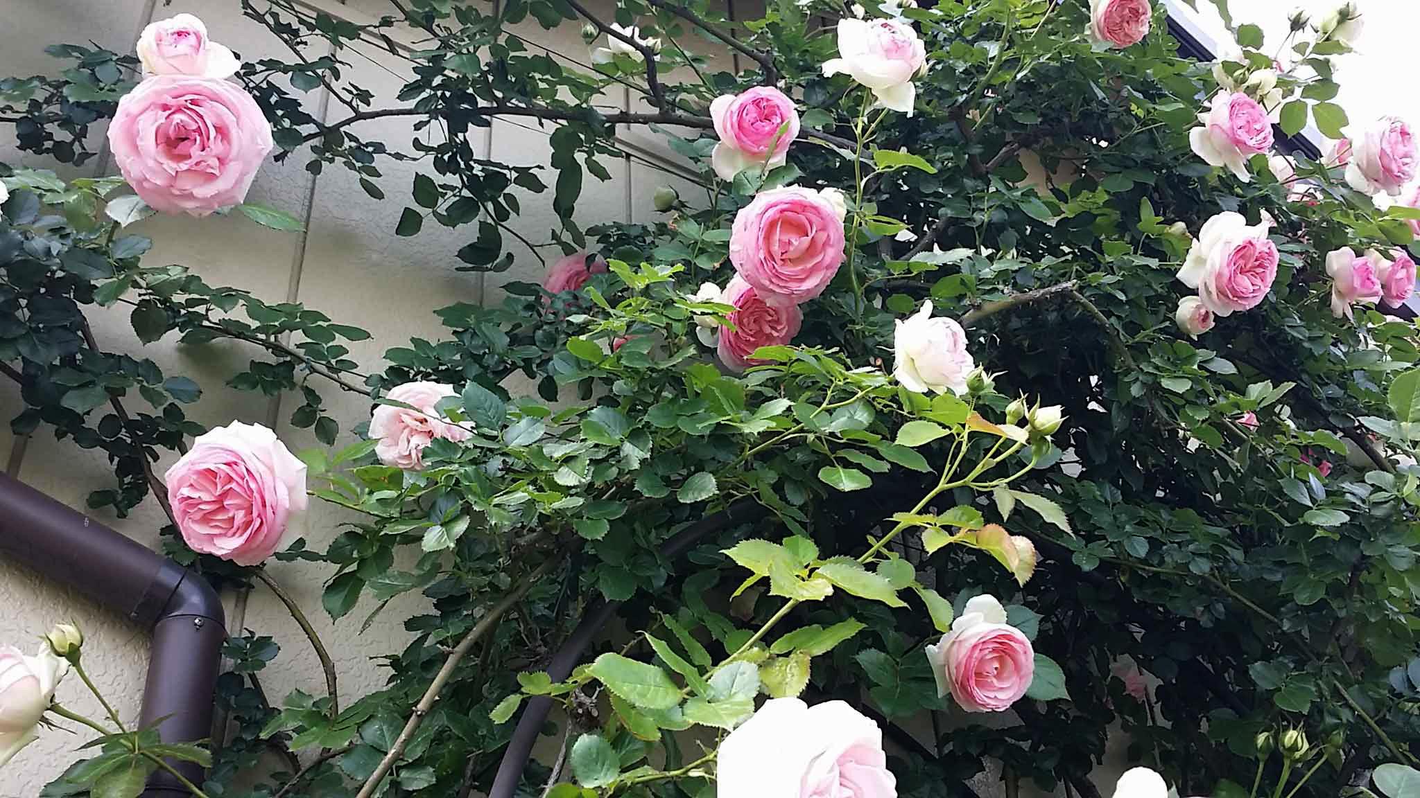 薔薇がさいた♪ バラがさいた♫