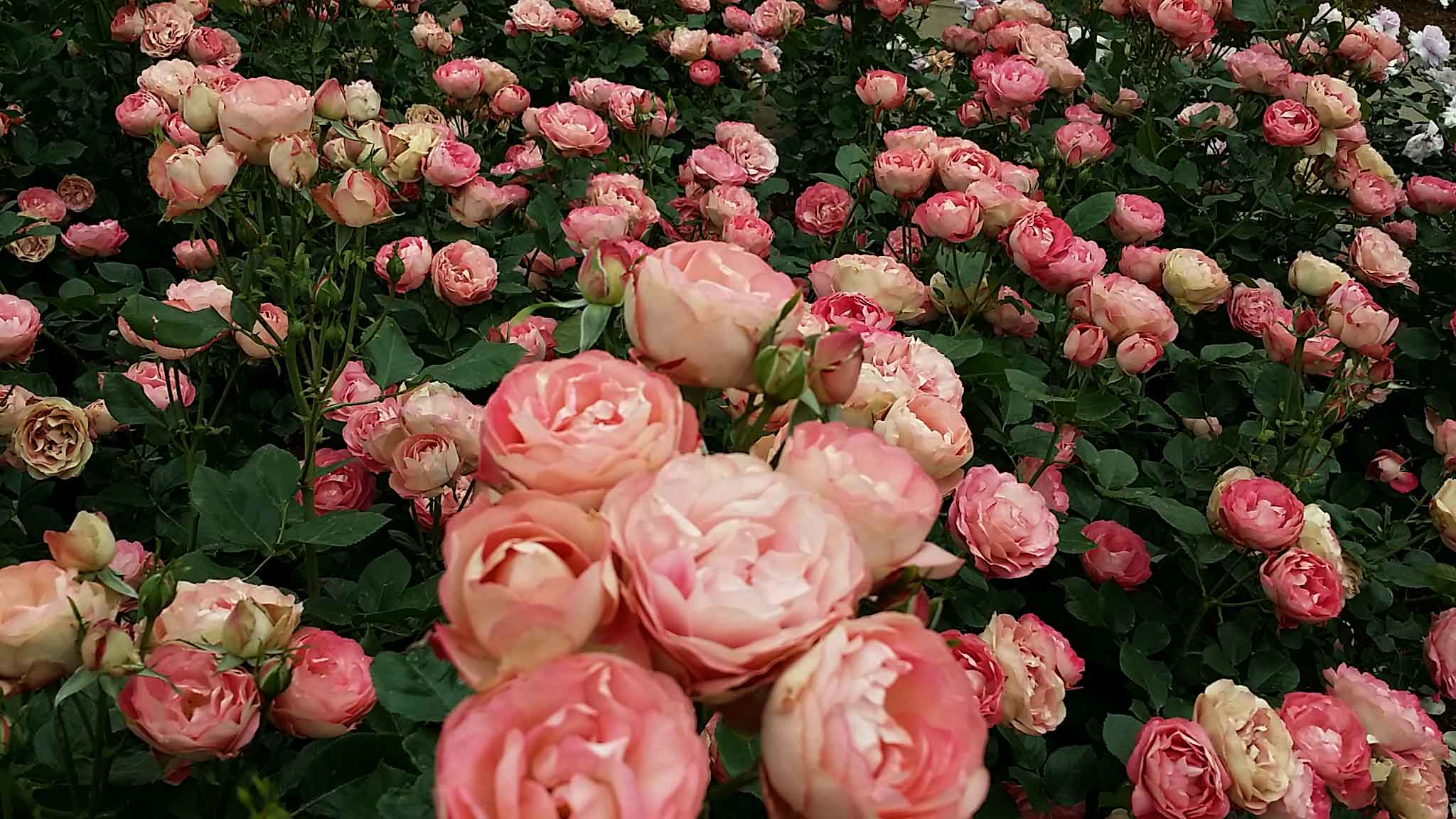 バラが咲いた♫薔薇が咲いたpart2